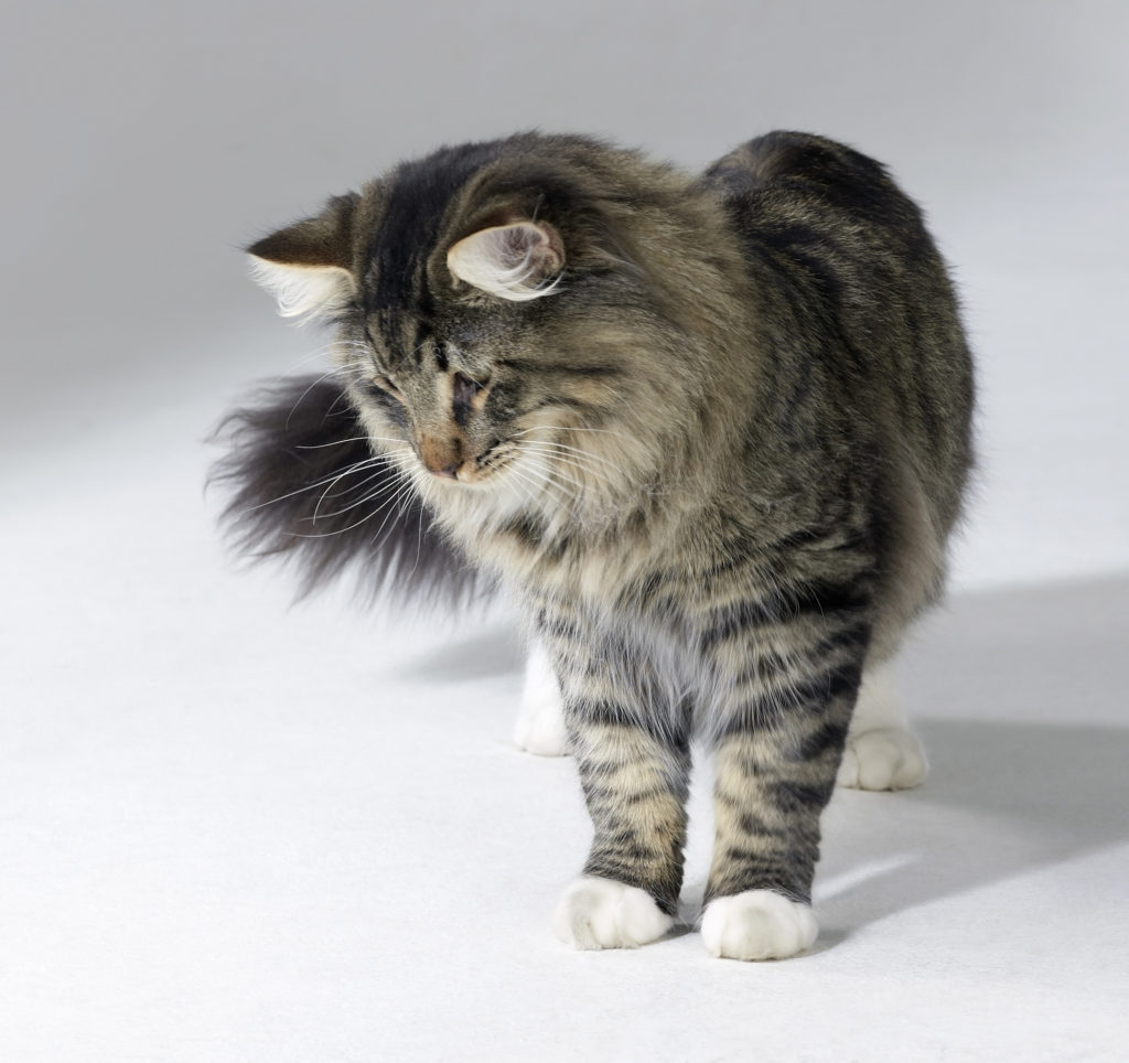Norwegian Forest Cat Personality Traits