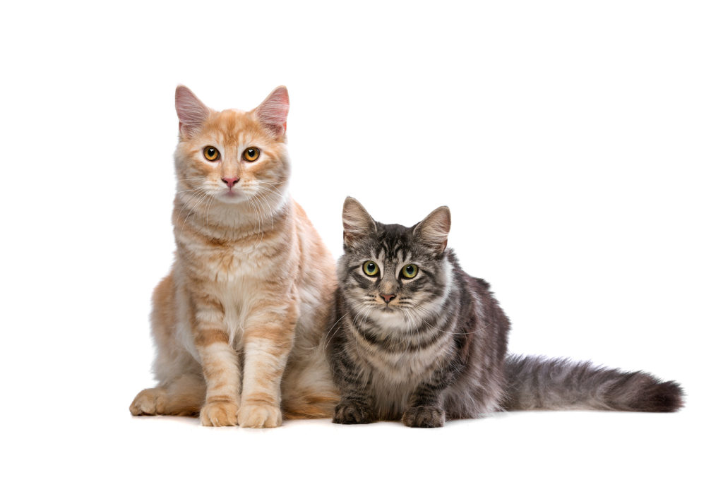 Norwegian Forest Cats vs. Maine Coons: What is the Difference?