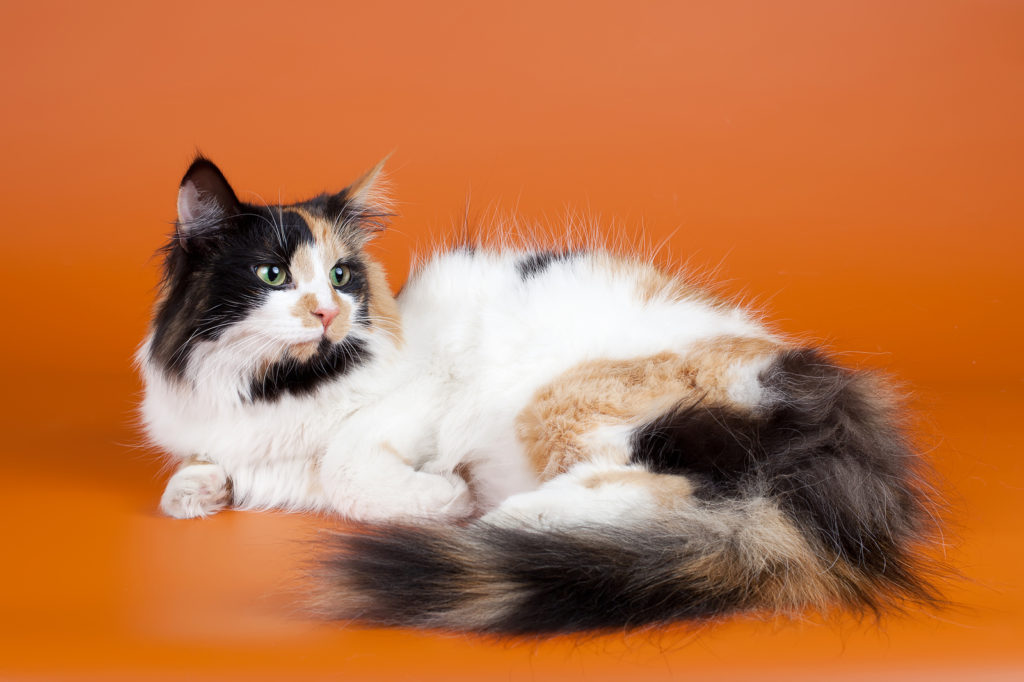Is Your Kitty a Norwegian Forest Cat Mix?