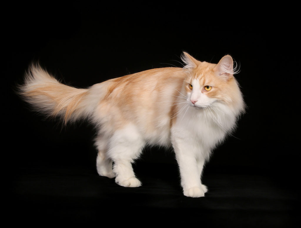 Purebred Norwegian Forest Cat