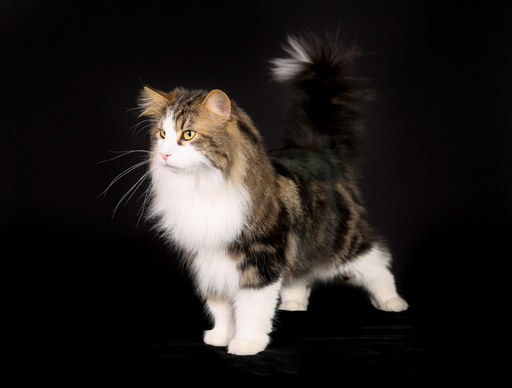 How to Choose a Norwegian Forest Cat Breeder