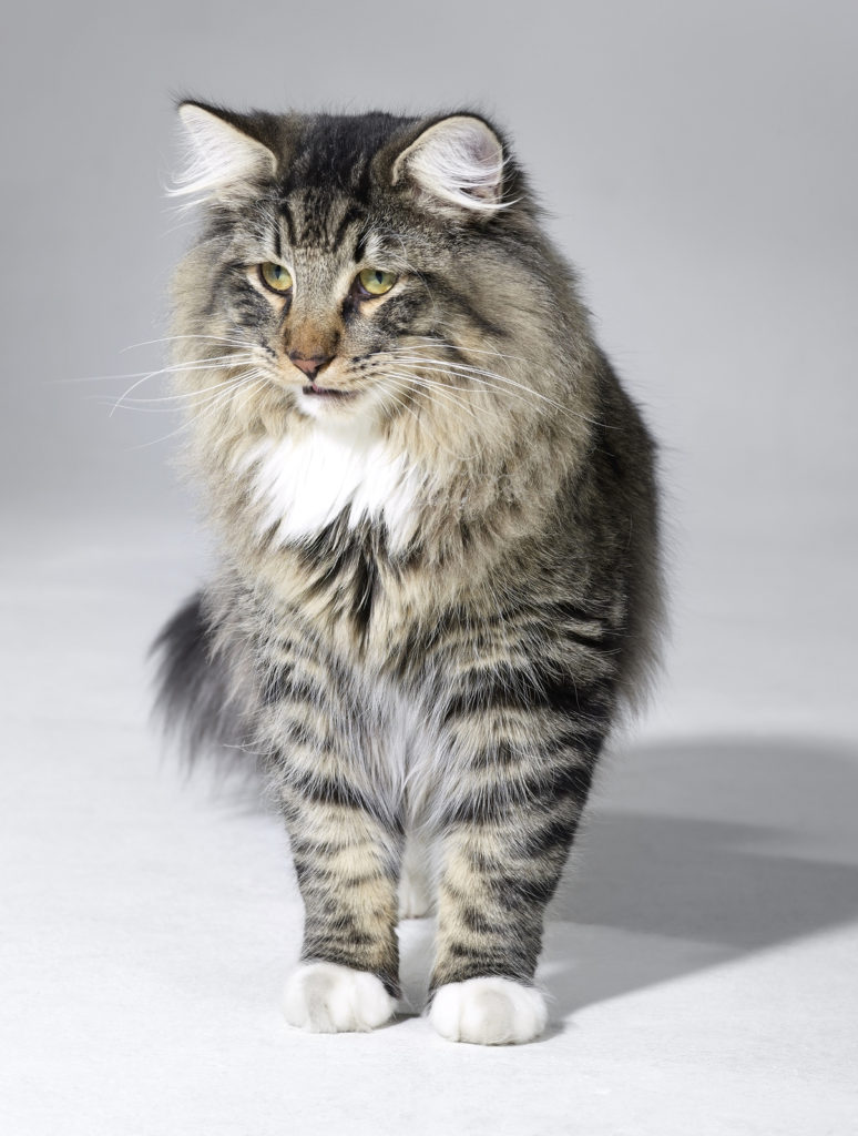 Are Norwegian Forest cats tolerant of dogs?