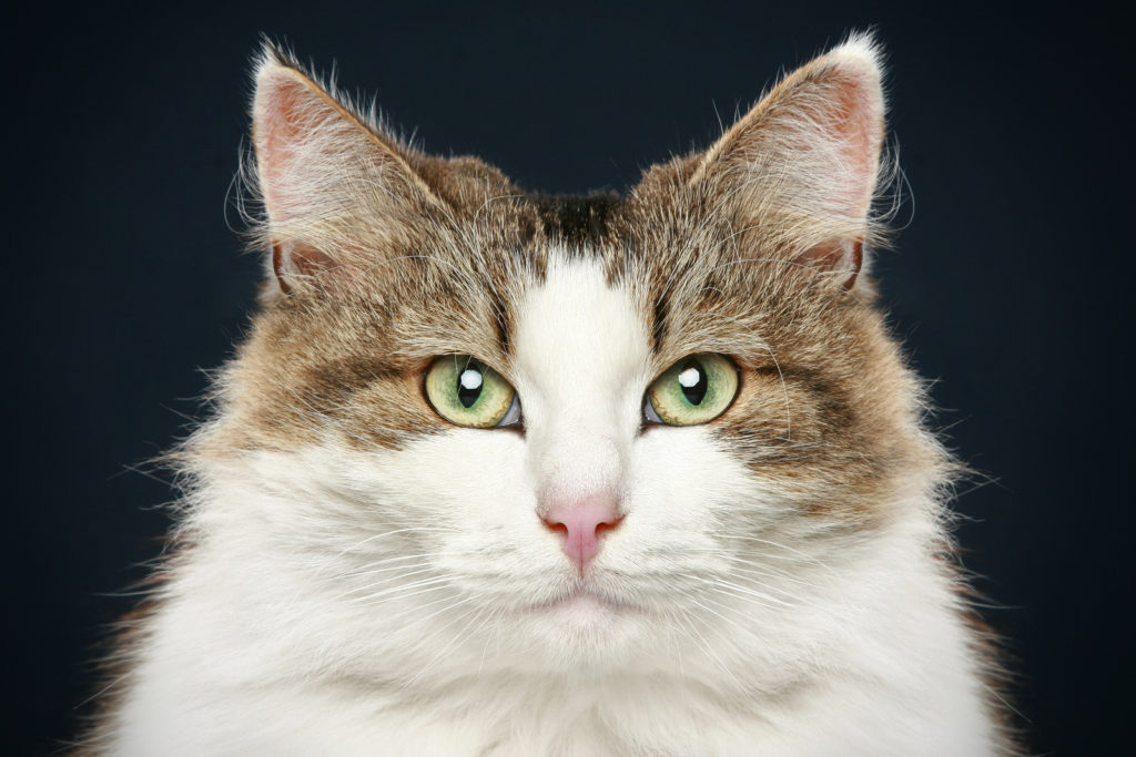 Do Norwegian Forest cats have issues with their ears?