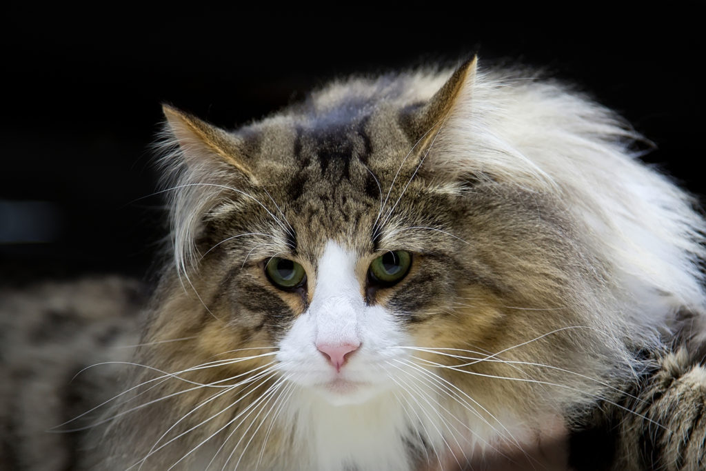 How to Spot a Norwegian Forest Cat