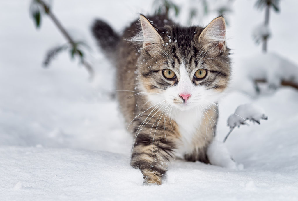 How Much do Norwegian Forest Cat Kittens Cost?