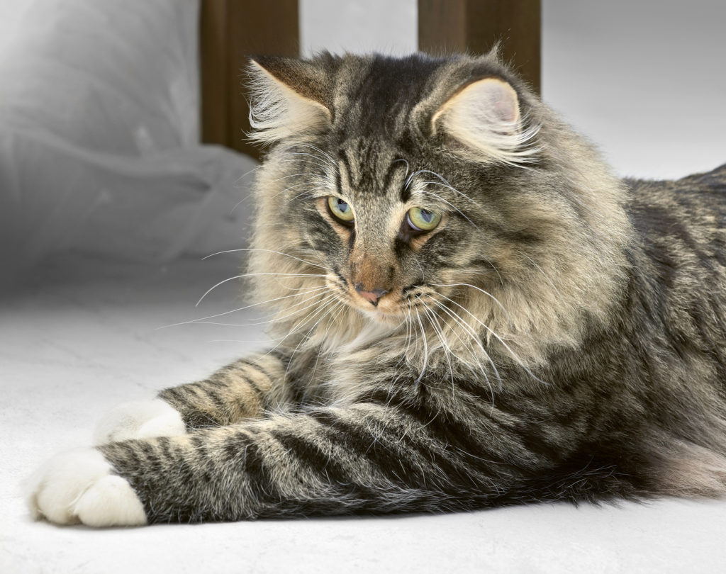 What is the Weight Range for Adult Norwegian Forest Cats?