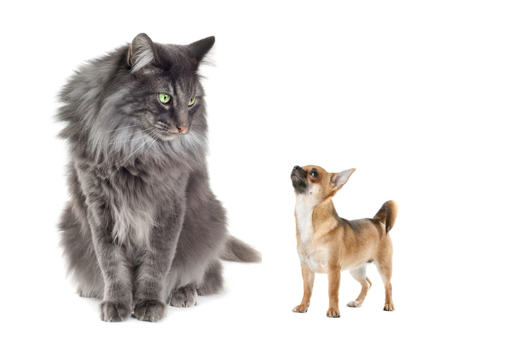 Norwegian Forest Cat vs Chihuahua